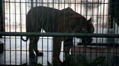 KO SAMUI, THAILAND: A lonely angry Bengal Tiger walking in a cage Stock Footage