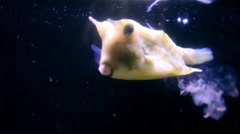 A group of Cowfishs-Lactoria cornuta-swimming together-one defecate in the water Stock Footage