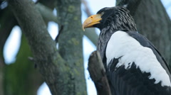 Big Bird an eagle sitting Stock Footage