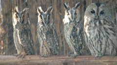 Stock Video Footage of Several curious eared owls sitting on pole