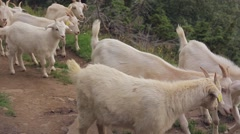 Goats go out to pasture Stock Footage