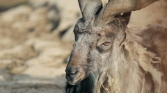 Horned mountain goat closeup Stock Footage
