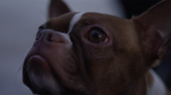 Close up of Boston Terrier Stock Footage