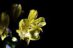 Alstroemeria flower - stock photo