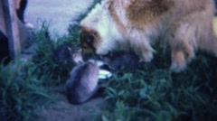 1961: Lassie Rough Collie dog drinking milk with kitten cats. Stock Footage