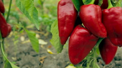 red sweet pepper on the Bush. Dolly shot - stock footage