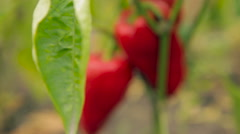 Red pepper, the plant and the fruit (close-up) Stock Footage