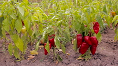 The harvest of red pepper. Vegetable. Stock Footage