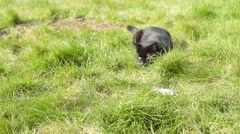 Black Cat Playing With A Dead Mouse In The Green Grass Stock Footage