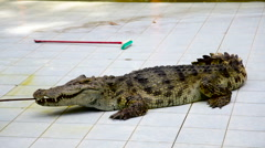 Quiet crocodile lying on the tiled floor Stock Footage