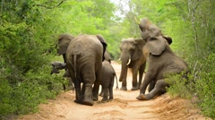 Elephant herd being playful Stock Footage