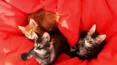 Maine Coon kittens on red couch sofa. 1920x1080 Stock Footage