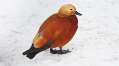 Ruddy shelduck (Tadorna ferruginea) Stock Footage