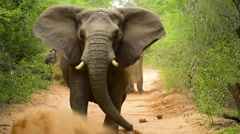 Elephant Matriarch Charging Camera - stock footage