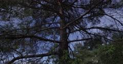 Big pine tree Stock Footage