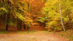 Autumn deciduous forest - stock footage