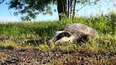 Dead badger. Meles meles Stock Footage