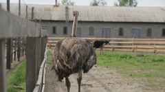 Ostrich on the territory of an ostrich farm - stock footage