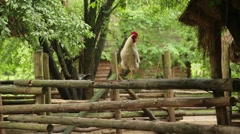 Rooster stands on one leg on a wooden fence Stock Footage