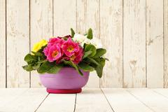 Springtime, Primroses in flower pot isolated on wooden white blank background Stock Photos