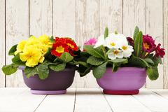 Springtime, Primroses in flowers pots isolated on wooden white blank backgrou Stock Photos