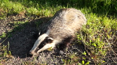 Dead badger. Meles meles Stock Footage