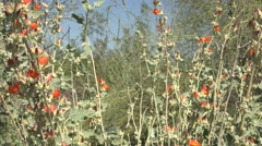 Arizona desert with bright orange flowers blooming, dolly Stock Footage