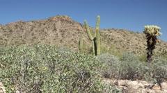 Arizona desert with Saguaro cacti, Teddy Bear Cholla, dolly Stock Footage