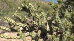 Green Yucca plant in Arizona desert up close with new growth, dolly Stock Footage