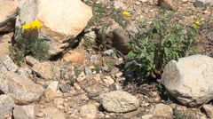 Arizona desert yellow poppies and other spring flowers, up close dolly Stock Footage