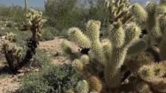 Arizona Teddy Bear Cholla slow move from left to right with Saguaro Stock Footage