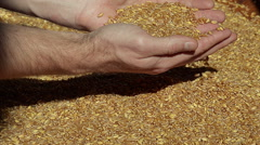 Golden Wheat in a Hands After Good Harvest Stock Footage
