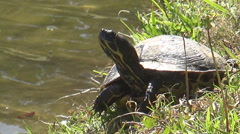 Golf course turtle Stock Footage