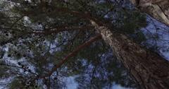 Pine tree bottom up view Stock Footage