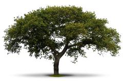entire green tree over white - stock photo