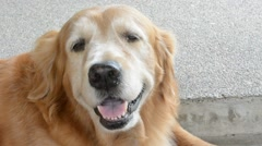Happy golden retriever is smiling and panting. - stock footage