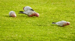 Beautiful pink and grey galah birds picking seeds for food from grass, 4K 30p Stock Footage