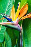 Strelitzia Reginae flower closeup - stock photo