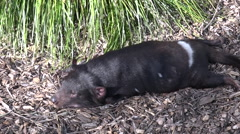 Tasmanian devil sleeps Stock Footage