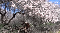 Almond tree garden in bloom and a tree root 2 Stock Footage