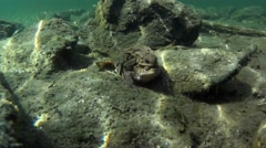 toads, coupling, underwater Stock Footage