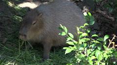 Capybara (Hydrochoerus hydrochaeris) eats grass Stock Footage