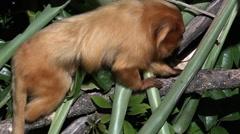 A golden lion tamarin - stock footage