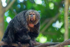 Saki Monkey Portrait Stock Photos