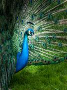 Portrait of peacock with spread feathers Stock Photos