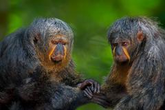 Two Saki Monkeys Stock Photos