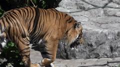 Sumatran Tiger (Panthera tigris sumatrae) walks Stock Footage