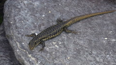 Grand skink sits on a rock Stock Footage
