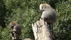 Male and female Hamadryas baboon Stock Footage