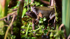 Two european frogs mating in a pond. Stock Footage
